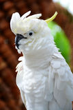 White Cockatoo, ulphur-crested Cockatoo (Cacatua galerita) Stock Image