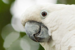 White Cockatoo, Umbrella Cockatoo (Cacatua alba). White Cockatoo, Umbrella Cockatoo, Cacatua alba, close up Royalty Free Stock Images