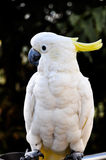 White Cockatoo with yellow crest Stock Photos