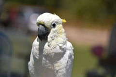 White Cockatoo with Yellow Facial Colors Stock Photography