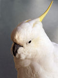 White Cockatoo. Yellow or sulphur crested whit cockatoo, a large native Australian parrot with a powerful beak stock photo