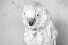 White cockatoo in the zoo. Sitting on a tree. Black and white concept. White feathers and black eyes Royalty Free Stock Images