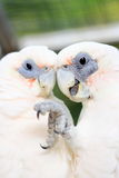 Two white cockatoos Royalty Free Stock Images
