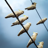 White Cockatoos on Telephone Wires Stock Image