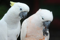 White cockatoos Royalty Free Stock Images