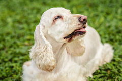 White Cocker Spaniel. Resting on the ground Royalty Free Stock Images