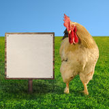 White cockerel looking at white billboard - square composition - soft focus Royalty Free Stock Images