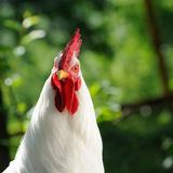 White Cockerel (Rooster) Royalty Free Stock Photos