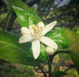 White coffee plant flower with long stamens and green leaves in Colombia. White coffee plant flower blossoming (Coffea). In Colombia, coffee stock photo