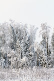 White cold winter forest landscape snow Stock Photo