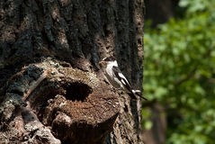 White-collared flycatcher Royalty Free Stock Photos