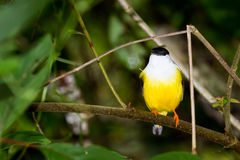 White-collared Manakin. White collared manakin perched on a branch in the rainforest of Belize Royalty Free Stock Image