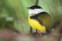 White-collared Manakin, tropical bird of Belize. Perching White-collared Manakin (Manacus candei), tropical bird of Belize Stock Photography
