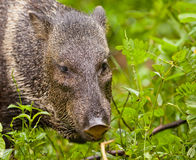 White-collared Peccary Stock Image