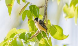 White-collared Seedeater Sporophila torqueola Perched in a Tree Branch. White-collared Seedeater Sporophila torqueola Perched in a Tree in Mexico Stock Photo