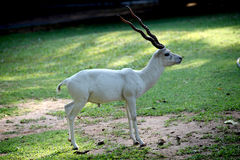 White color antelope Stock Photography