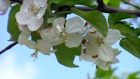The white color of Apple trees stock footage