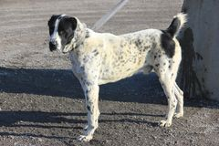 White color with black spots and dots color central asian shepherd dog. A side view of a close-up of a dog of the breed of the central asian shepherd dog of stock photo