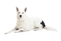 White Color Border Collie Dog Laying Down Stock Photos