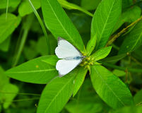 White Color Butterfly Stock Photo