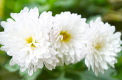 White color flower Royalty Free Stock Photos