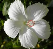 White color Hibiscus Rosa sinensis, Rose Mallow flower. White color Hibiscus Rosa sinensis, Hawaiian hibiscus or Rose Mallow flower Stock Photos