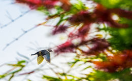 White color Indian Fantail Pigeon in flight. With colorful tress out of focus background. It is a breed of fancy pigeon developed over many years of selective Stock Image