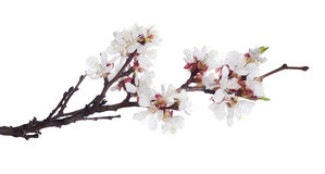 White color isolated sakura blooming branch Stock Photos