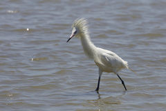 White Color Morph of Reddish Egret in Breeding Plumage Stock Images