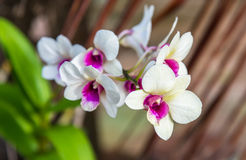 White color orchid blossom closeup Stock Image
