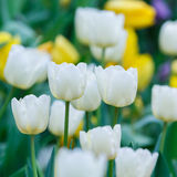 White color tulip flower stock images