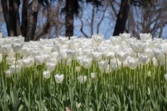 White color tulip flowers in the garden. White color tulip flowers bloom in the garden royalty free stock photography
