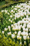 White color tulip flowers in the garden. White color tulip flowers bloom in the garden royalty free stock photo