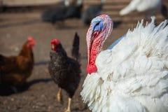 White color turkey walking day on the farm. Royalty Free Stock Photo