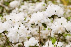 White Colored Azalea Flowers in Bloom stock photography