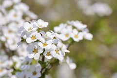 White colored bridal wreath flowers Royalty Free Stock Photography