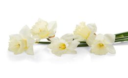 White colored daffodil flowers Royalty Free Stock Photos