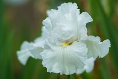 White colored iris flower. One of hundreds of different variety of iris on display at presbies iris gardens stock photo
