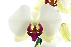 The white colored orchid Royalty Free Stock Images
