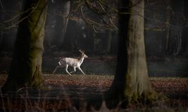 White Fallow Deer Buck Running Through Forest. A white coloured fallow buck runs along a forest path. There is faint mist and ghostly outlines of other deer in stock photos