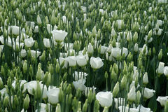 White coloured lisianthus flowers on a greenhouse bed. In Westland Netherlands Royalty Free Stock Photography