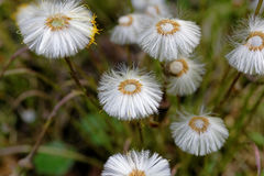 White coltsfoot flowers Stock Images