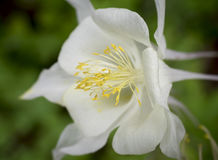 White Columbine Flower. A close-up detail shot of a Columbine flower and its yellow stamen royalty free stock images