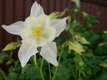 White columbine flower. In garden. Colorado State flower stock image