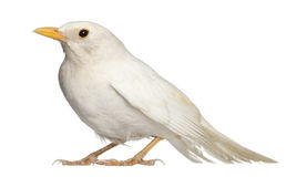 White Common Blackbird Royalty Free Stock Images