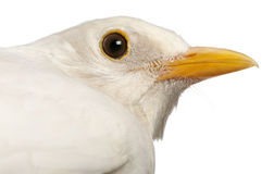 White Common Blackbird - Turdus merula Stock Photo