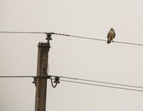 White Common Buzzard on a wire Royalty Free Stock Images