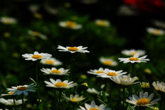 White Common Daisies Stock Photography