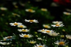 White Common Daisies Stock Photography