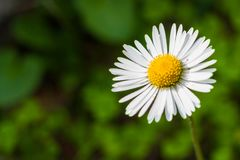 White common daisy bellis perennis against green background. White common daisy bellis perennis against blurred green background Stock Photos